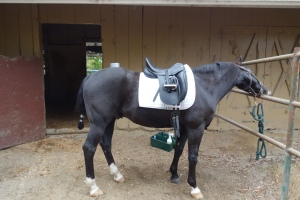 Finn in his Lemke dressage saddle, getting ready for the Piaffe Clinic